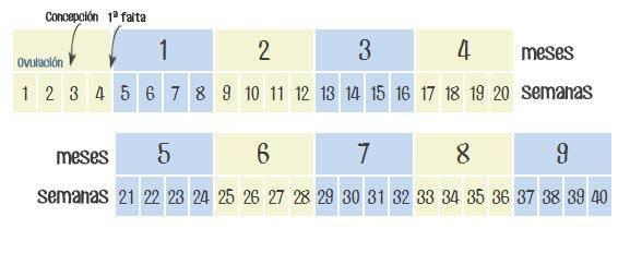 C mo calcular semanas de embarazo en meses todopap s - 25 semanas de embarazo cuantos meses son ...