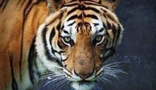 Nombres que significan tigre